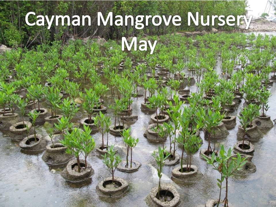 Red Mangrove grown in a nursery ready for placement along the shore.