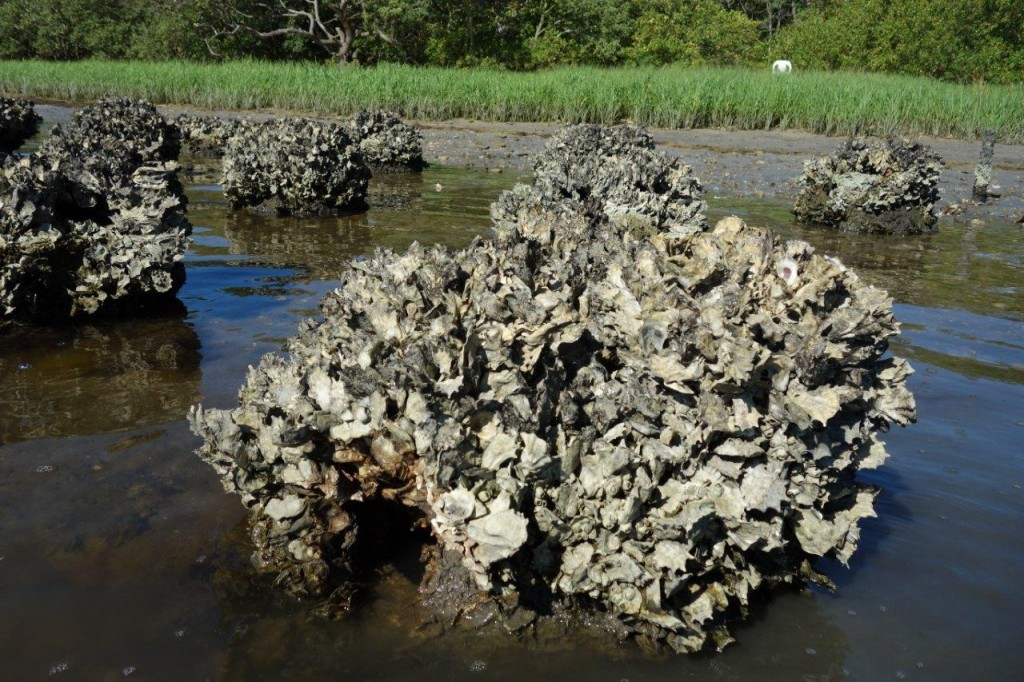 oyster dome reef
