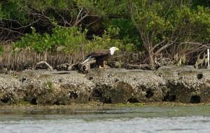 Eagle on Alafia River banks